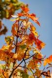 多彩多姿的槭树在一棵树离开在一晴朗的秋天天 免版税图库摄影