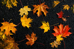 多彩多姿的槭树在沥青离开在雨以后在秋天 免版税库存图片
