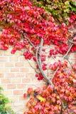 多彩多姿的狂放的蠕动的藤Ampelopsis葡萄分支 秋天se 图库摄影