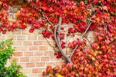 多彩多姿的狂放的蠕动的藤Ampelopsis葡萄分支 秋天se 免版税库存照片