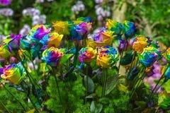 多彩多姿的玫瑰彩虹花束上升了 免版税图库摄影