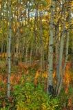 多彩多姿的白杨木森林秋天在育空 免版税图库摄影