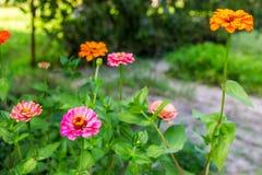 多彩多姿的百日菊属在庭院里 选择聚焦 库存照片