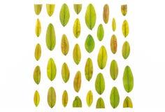 多彩多姿的秋叶排行了以在白色背景的一个正方形的形式 五颜六色的秋叶样式纹理 免版税库存图片