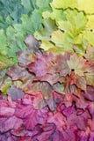 多彩多姿的秋天槭树叶子梯度  秋天背景特写镜头上色常春藤叶子橙红 免版税库存照片