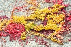 多彩多姿的秋天狂放的蠕动的藤Ampelopsis葡萄分支 库存照片