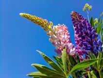 多彩多姿的羽扇豆花束反对天空蔚蓝的 免版税库存照片