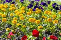 多彩多姿的花万寿菊和喇叭花在花床上 免版税库存照片