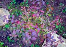 多彩多姿的蓝莓布什在秋天庭院离开 库存照片