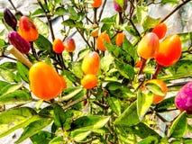 多彩多姿的辣椒植物 图库摄影