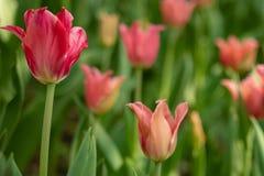 多彩多姿的郁金香在一张花床上在春天开了花 免版税库存照片
