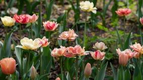 多彩多姿的郁金香在一张花床上在春天开了花 库存图片