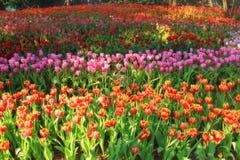 多彩多姿的郁金香在庭院,郁金香领域里 库存照片