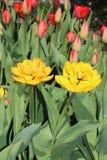 多彩多姿的郁金香春天绽放在庭院里 免版税库存图片