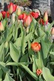 多彩多姿的郁金香春天绽放在庭院里 免版税库存照片