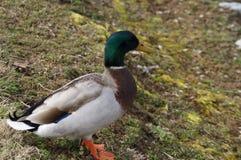 多彩多姿的鸭子画象击出2 免版税库存照片