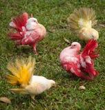 多彩多姿的鸽子,酸值苏梅岛,泰国 免版税库存照片