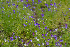 多彩多姿的紫罗兰色背景 三色紫罗兰 库存图片