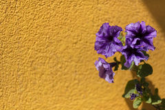 多彩多姿的紫罗兰色背景 三色紫罗兰 免版税图库摄影