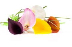 多彩多姿的水芋属花束  免版税库存图片