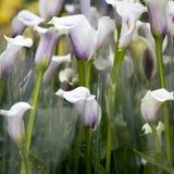 多彩多姿的水芋百合花束  蝴蝶下落花卉花重点模式黄色 特写镜头 库存照片