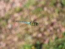 多彩多姿的蜻蜓飞行 库存照片