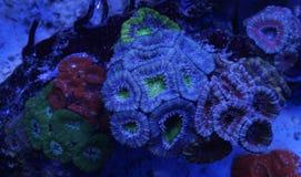 多彩多姿的Acanthastrea珊瑚 免版税图库摄影