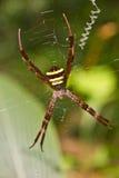 多彩多姿的Argiope蜘蛛,在网的秀丽昆虫 免版税库存图片