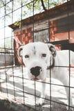多戈Argentino - Argentino大型猛犬 库存图片
