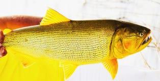 多拉多鱼 从有有一golde的淡水的河钓鱼 免版税图库摄影