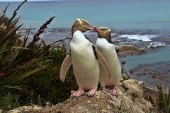多数珍贵的企鹅生活,黄色目的企鹅, Megadyptes对映,新西兰 库存照片