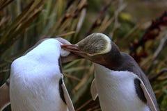 多数珍贵的企鹅生活,黄色目的企鹅, Megadyptes对映,新西兰 免版税库存照片