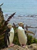 多数珍贵的企鹅生活,黄色目的企鹅, Megadyptes对映,新西兰 免版税图库摄影
