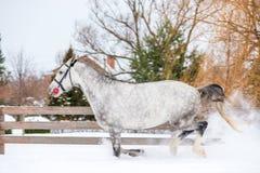 多斑点的灰色良种马在大农场跑 库存照片