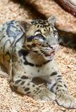 多斑点的豹子特写镜头 库存照片