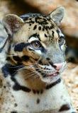 多斑点的豹子特写镜头 库存图片