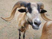 巴巴多斯有角的绵羊特写镜头 库存照片