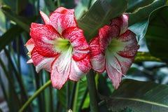 多朵有条纹的桃红色白色hippeastrum孤挺花开花与在瓣的红色条纹在自然庭院背景星百合Amaryl 库存照片