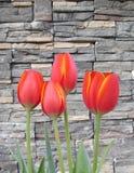 多朵红色橙色春天郁金香花有石背景 库存图片