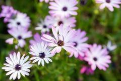 多朵雏菊在绿色背景在选择聚焦开花 免版税库存图片