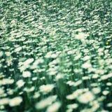 多朵雏菊花在春天草甸 免版税库存照片