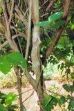 多枝树和Uroplatus fimbriatus 琥珀色的Mauntin,地亚哥苏亚雷斯,马达加斯加 库存照片