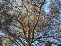 多枝针叶树 库存照片