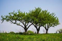 多棵树在小山的葡萄园里在一个晴天 免版税库存图片