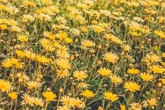 多榔菊属植物在圣卡塔利娜修道院,阿雷基帕里开花,每 图库摄影