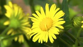 多榔菊属植物在夏天好日子 影视素材