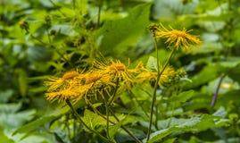 多榔菊属植物,翠菊 库存照片