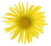 多榔菊属植物 免版税库存图片