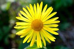 多榔菊属植物 库存照片