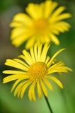 多榔菊属植物carpaticum花 图库摄影